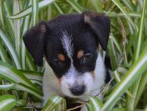 Cuccioli Cani Jack Russell Terrier Allevamento Villa Andrei
