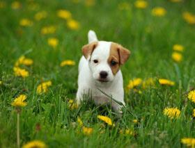 Il sito dei cani Jack Russell Terrier e le news