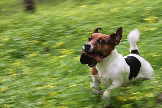 Allevamenti Jack Russell Terrier cani da esposizioni e da
